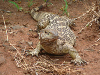 Monitor Lizard 1 by Confussed-Stock