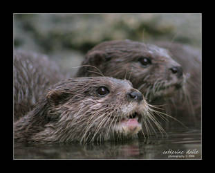 the otter.. by cdaile