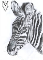 Zebra Biro Drawing by sarah-mca-art