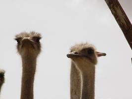 Ostrich by sgarciaburgos