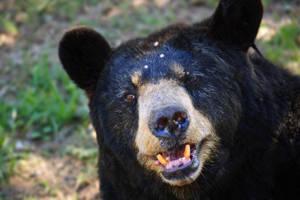 American black bear by LeGreg