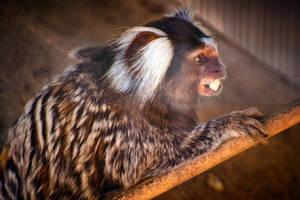 Common marmoset eating by LeGreg