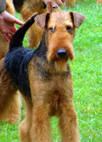 Airedale by OhSoJinxed