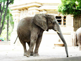 Elephant 1 by Etereas-stock