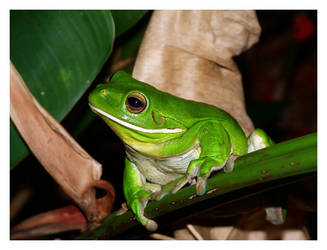 New Years Frog by FNQ