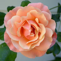 Orange Rose II by FeralWhippet