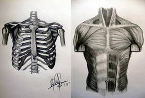 Human Anatomy - Torso by HaloGoddess1
