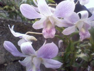 Dendrobiums by LUKA-JBF