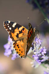 Butterfly Stock 02 by Malleni-Stock
