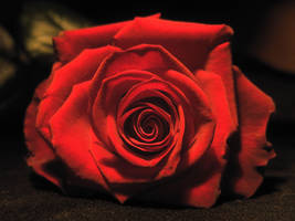 Rose stock 01 by Malleni-Stock