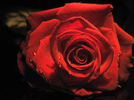 Rose stock 02 by Malleni-Stock