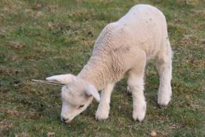 Lamb Stock 01 by Malleni-Stock