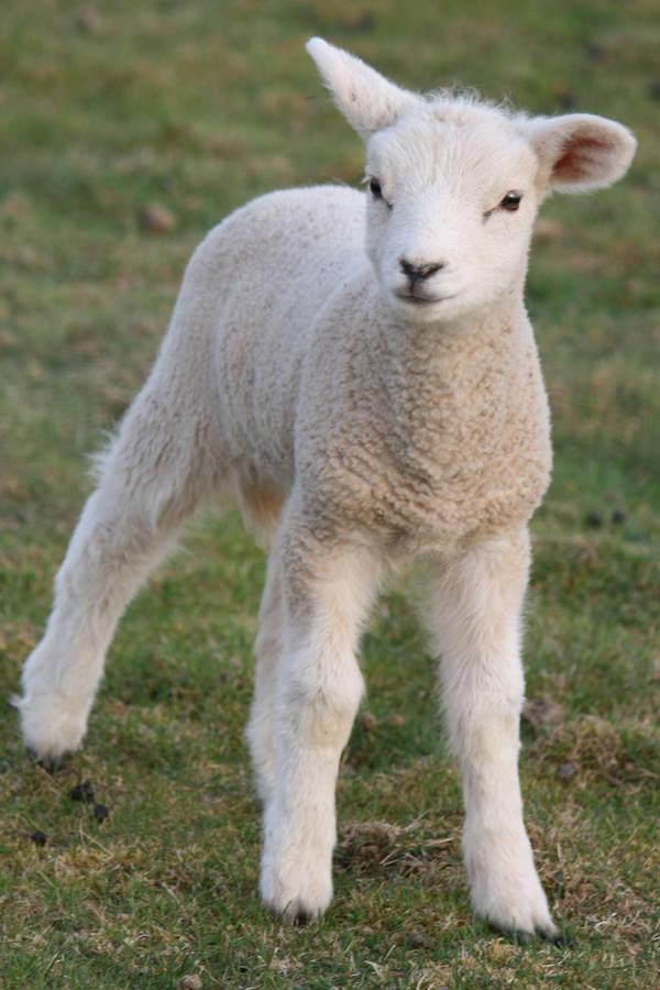 Lamb Stock 03 by Malleni-Stock
