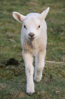 Lamb Stock 04 by Malleni-Stock