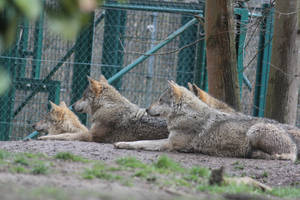 Wolf Stock 05 by Malleni-Stock