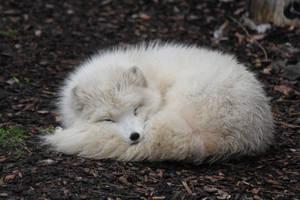 Arctic Fox Stock 02 by Malleni-Stock
