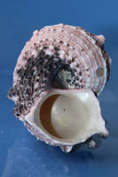 Sea shell Stock 048 by Malleni-Stock