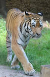 Tiger Stock 07 by Malleni-Stock