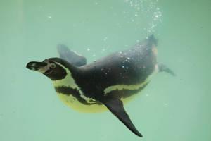 Penguin Stock 09 by Malleni-Stock