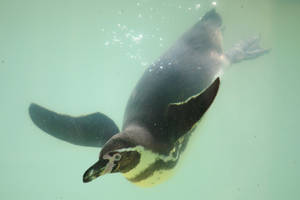 Penguin Stock 20 by Malleni-Stock