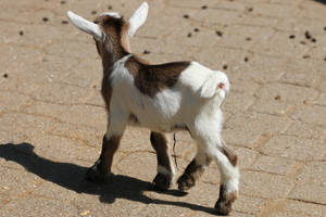 Goat Stock 02 by Malleni-Stock