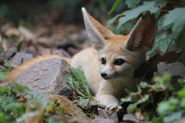 Fennec Stock 23 by Malleni-Stock