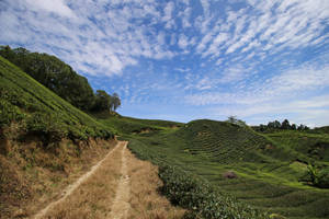 Tea Plantation Stock 13 by Malleni-Stock