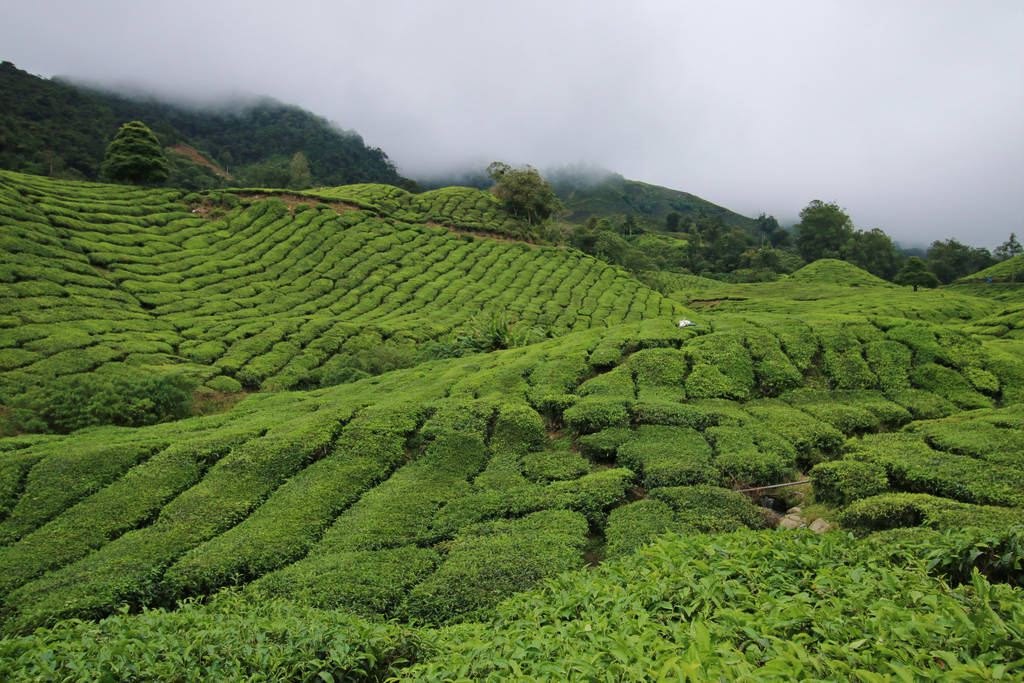 Tea Plantation Stock 17 by Malleni-Stock