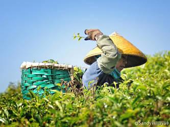 Tea Picker by thesaintdevil
