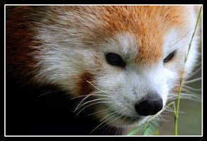 Red Panda by TomasGarcia