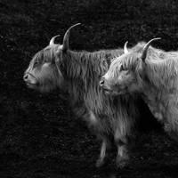Highland Friends by vamosver