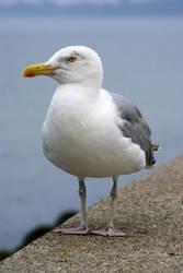 herring gull by AkumaJusan