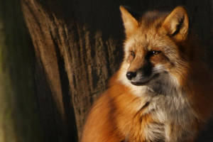 Mr. Fox by AkumaJusan