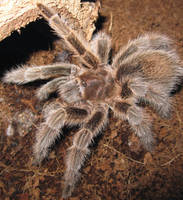 tarantula by metalheart1987