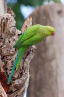 Rose-ringed Parakeet by rat-or-rat