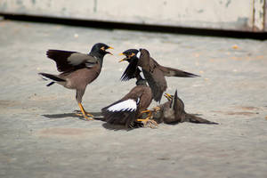 Common Myna (Acridotheres tristis) by rat-or-rat