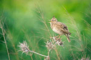 Crested Lark by rat-or-rat