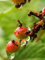 Ants by Lunnika-Horo
