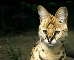 Serval          [PRINT WITHOUT WATERMARK] by Lunnika-Horo