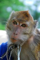 Macaca fascicularis by gat0t