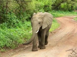 Africa - Elephant 5 by Nyaorestock