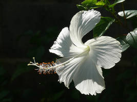 Hibiscus2 by Otoff