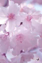 Blossom Beauty by Sakura060277