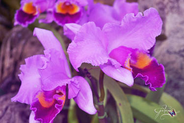 Violet by Sakura060277