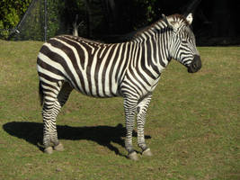 zebra by kayosa-stock