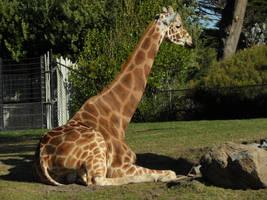 Giraffe by kayosa-stock