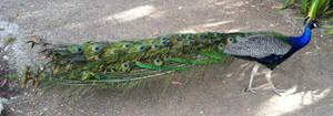 Peacock 3.6 by kayosa-stock
