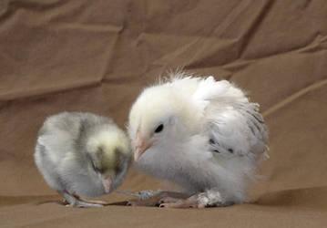 Chicks 5 by kayosa-stock