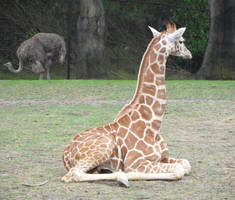 Giraffe Baby2 by kayosa-stock