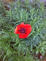 Poppy 3 by Helz-Design